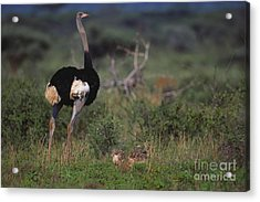 Somali Ostrich With Chicks Acrylic Print by Art Wolfe