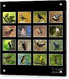 Song Birds Of Canada Collection Acrylic Print by Inspired Nature Photography Fine Art Photography