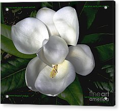 Song Of The Magnolia Acrylic Print