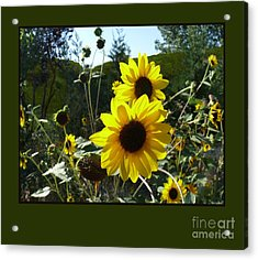 Song Of The Sunflower Acrylic Print by Jacquelyn Roberts