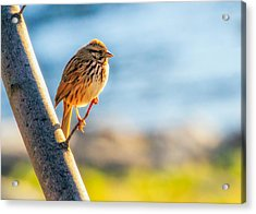 Song Sparrow Acrylic Print by Bob Orsillo