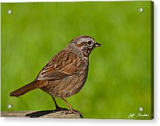 Song Sparrow On A Log Acrylic Print