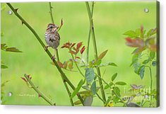 Song Sparrow Acrylic Print