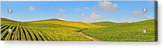 Sonoma County Vineyard Panorama Acrylic Print by Michael  Ayers