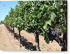 Sonoma Vineyards In The Sonoma California Wine Country 5d24491 Acrylic Print by Wingsdomain Art and Photography
