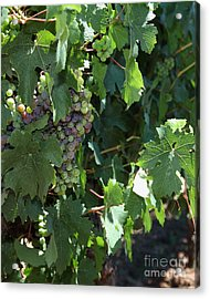 Sonoma Vineyards In The Sonoma California Wine Country 5d24510 Vertical Acrylic Print by Wingsdomain Art and Photography