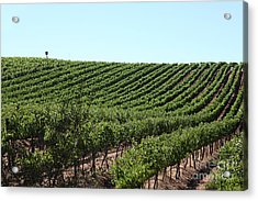 Sonoma Vineyards In The Sonoma California Wine Country 5d24588 Acrylic Print by Wingsdomain Art and Photography