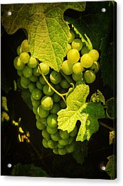 Sonoma Wine Grapes 002 Acrylic Print by Lance Vaughn