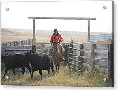 Sorting Heifers Acrylic Print by Lee Raine