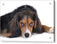 Soulful Black Tan And White Pup Acrylic Print by Natalie Kinnear