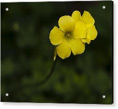 Sour Grass Acrylic Print