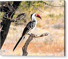 South African Hornbill Acrylic Print