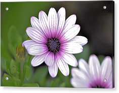 South African Sailor Boy Daisy Acrylic Print by Dave Woodbridge