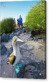 South America, Ecuador, Galapagos Acrylic Print by Miva Stock