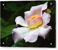 South American Gustavia Flower Acrylic Print