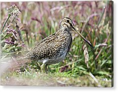 South American Snipe Or Magellan Snipe Acrylic Print by Martin Zwick