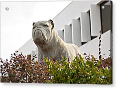 South Carolina State University Bulldog Acrylic Print
