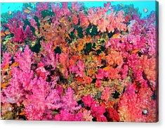 South Pacific, Fiji, Viti Levu, Bligh Acrylic Print by Michele Westmorland