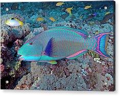 South Pacific, Solomon Islands, Meri Acrylic Print by Jaynes Gallery