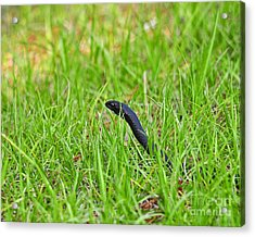 Southern Black Racer Acrylic Print by Al Powell Photography USA