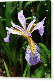 Southern Blue Flag Iris Acrylic Print by William Tanneberger
