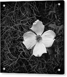 Southern Dogwood Acrylic Print by Carrie Cranwill
