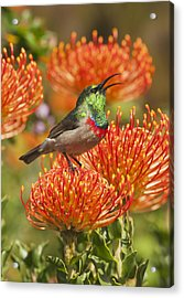 Southern Double-collared Sunbird Acrylic Print