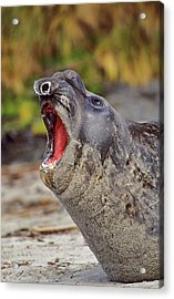 Southern Elephant Seal Bull Mouth Wide Acrylic Print by Martin Zwick