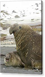 Southern Elephant Seal Couple  Acrylic Print