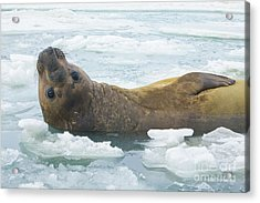 Southern Elephant Seal Reclining Acrylic Print
