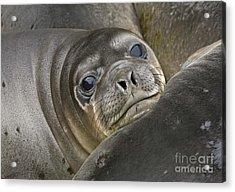 Southern Elephant Seal Pup South Acrylic Print