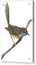 Southern Emu Wren Acrylic Print