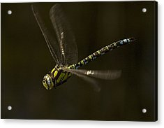 Southern Hawker Dragonfly In Flight Acrylic Print