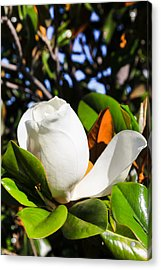 Southern Magnolia Blossom Acrylic Print