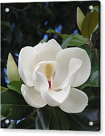 Southern Magnolia Acrylic Print by Margaret Saheed