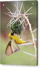 Southern Masked Weaver Building Nest Acrylic Print