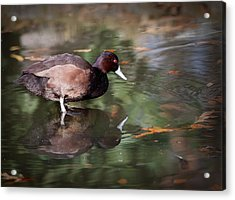 Acrylic Print featuring the photograph Southern Pochard by Tyson and Kathy Smith