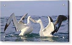 Southern Royal Albatross Greeting Acrylic Print