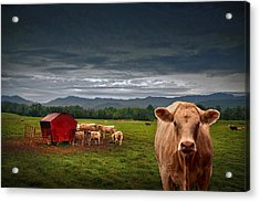 Southern Steer Acrylic Print by William Schmid
