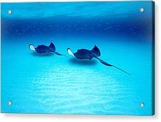 Southern Stingrays Grand Caymans Acrylic Print