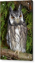 Southern White-faced Scops Owl Acrylic Print by Nigel Downer