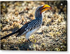 Southern Yellow Billed Hornbill Acrylic Print by Craig Brown
