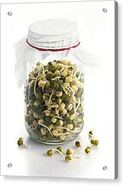 Soya Bean (glycine Max) Sprouts Acrylic Print by Science Photo Library