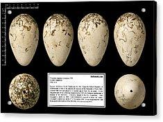 Spallanzani's Great Auk Egg Acrylic Print by Natural History Museum, London