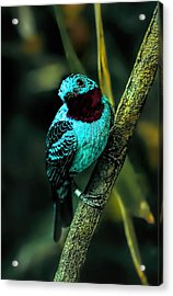 Acrylic Print featuring the painting Spangled Cotinga Turquoise Bird by Tracie Kaska