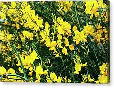 Spanish Broom Flowers Acrylic Print
