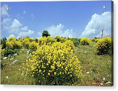 Spanish Broom (spartium Junceum) Acrylic Print