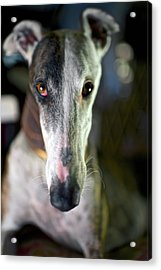 Spanish Greyhound Acrylic Print by Nano Calvo