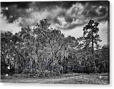 Spanish Moss And Clouds Study Acrylic Print by Silvio Ligutti