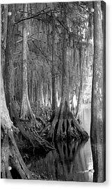 Spanish Moss And Pond Cypress. Shingle Creek. Acrylic Print